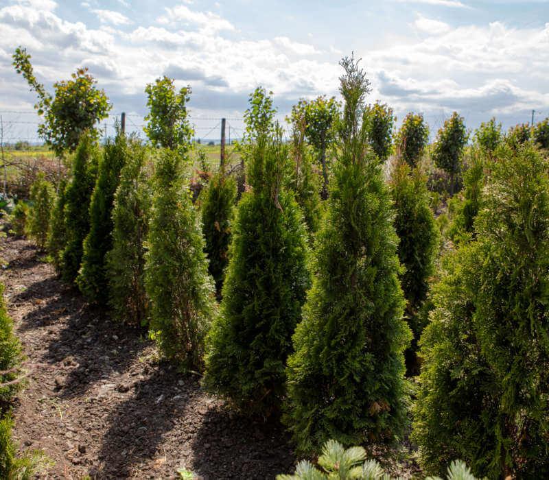 Pepiniera-Iasi-Neamt-Bacau-Plante-Copaci-Pomi